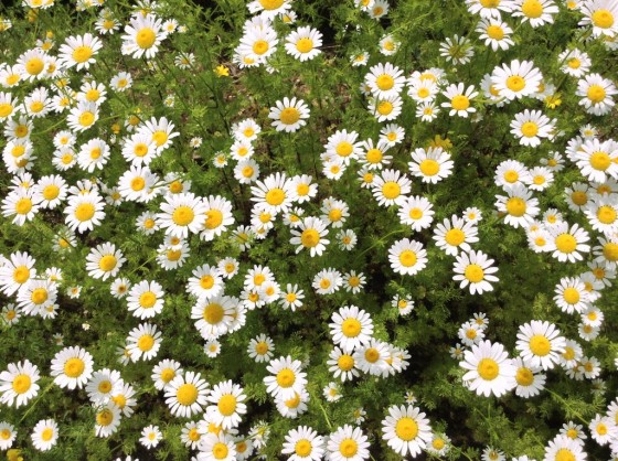 Chamomile - Antioxidants